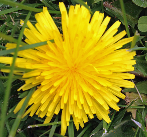 Yellow-dandelion