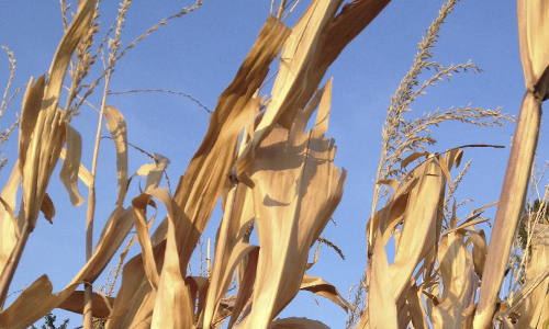 Fall-corn