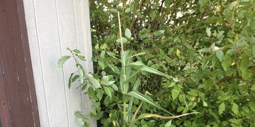 Corn-stalk