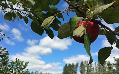 Apple-in-tree