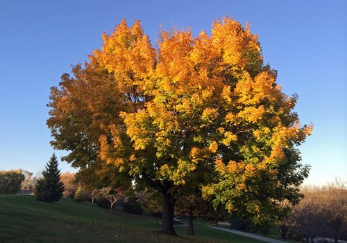 Fall-tree-SLP